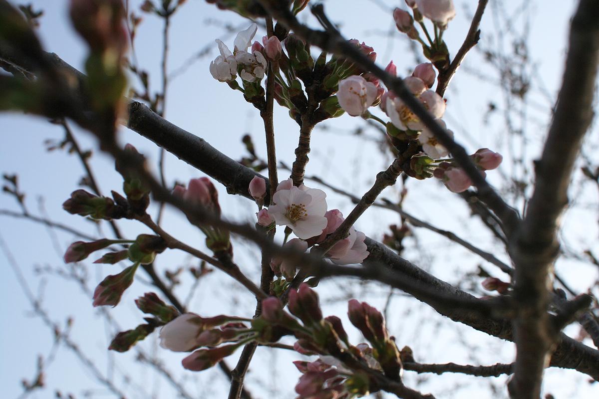 一番桜開花