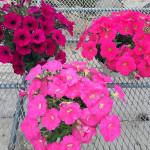 【寄せ植え】⭐︎第二弾シンプルシリーズ・ペチュニア寄せ植え⭐︎